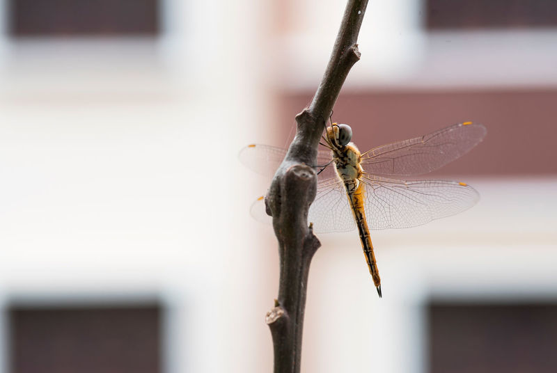 Just chilling Animal Themes Animal Wildlife Animals In The Wild Beauty In Nature Close-up Day Dragonfly Focus On Foreground Insect Nature Neem Neem Tree No People One Animal Outdoors