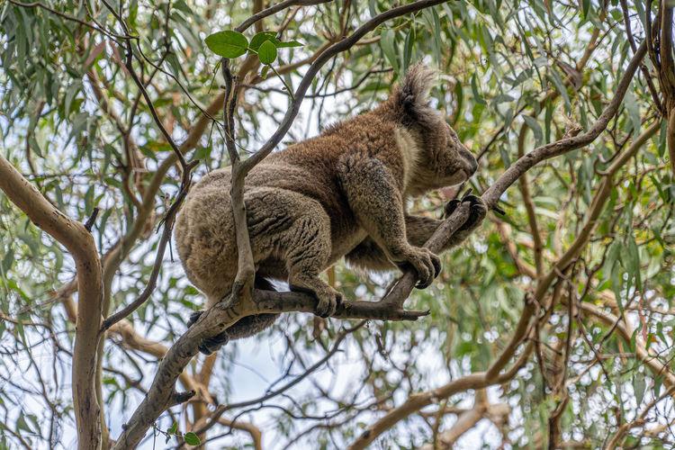 Low angle view of koala sleeping on gum tree