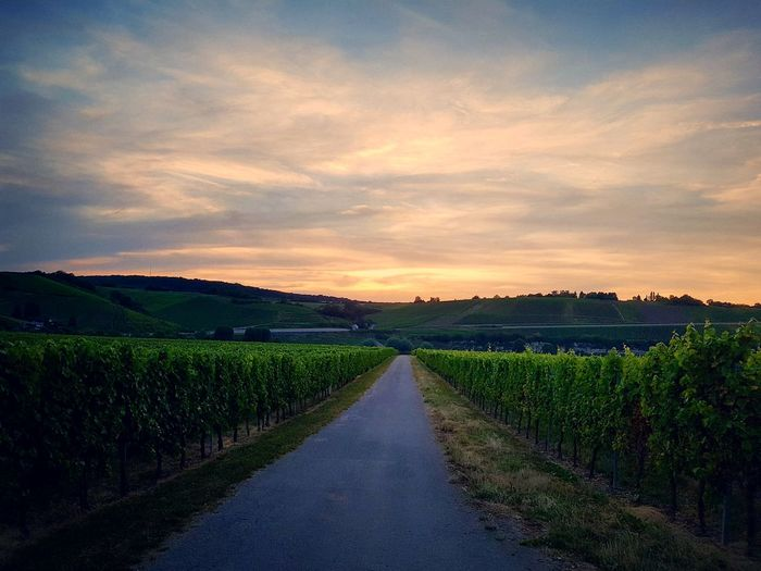 Vineyards  Vineyard Cultivation Scenics - Nature Evening Light Evening Sky Sunset Rural Scene Sunset Agriculture Field Sky vanishing point Diminishing Perspective The Way Forward Country Road