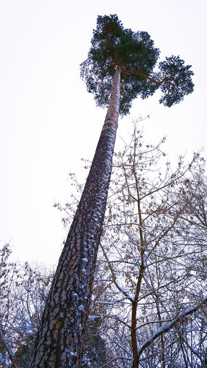 Tree Sky Nature No People Low Angle View Silhouette Growth Day Branch Close-up Beauty In Nature Single Tree Cold Temperature Scenics Low Angle View Pineforest Pine Tree Winter Snowman Backgrounds Outdoors Beauty In Nature Nature Tree