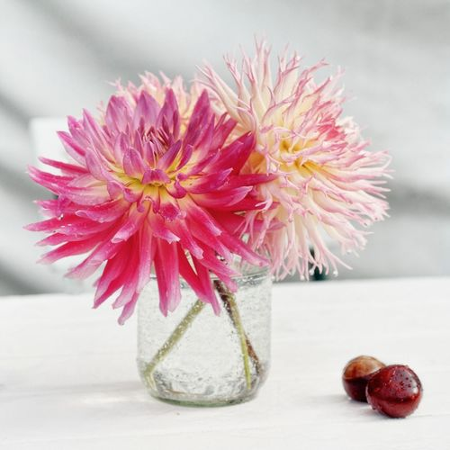 Close-up of pink dahlias in vase on table