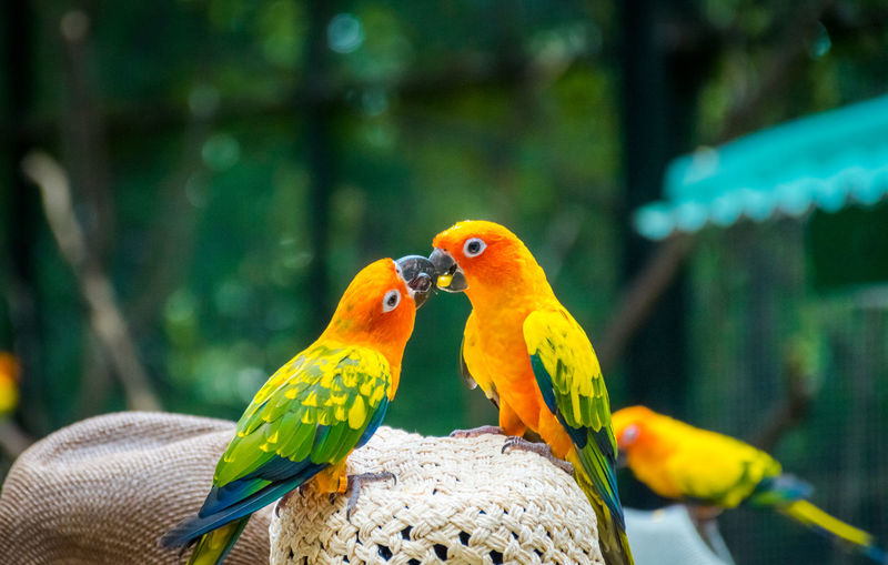 Hat Animal Animal Themes Animal Wildlife Animals In Captivity Animals In The Wild Beauty In Nature Bird Close-up Day Focus On Foreground Group Of Animals Nature No People Outdoors Parakeet Parrot Perching Sun Conure Parrot Tree Two Animals Vertebrate