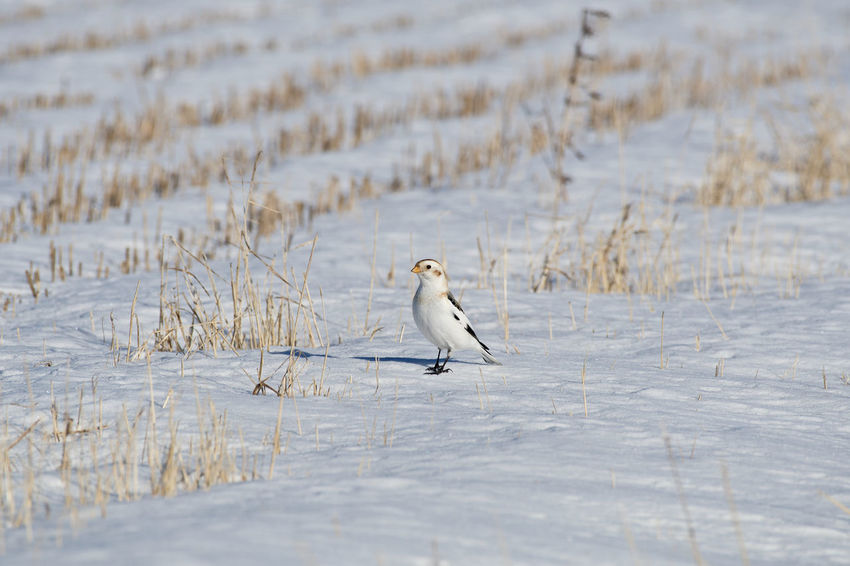 Snow bunting Animal Themes Animal Wildlife Animals In The Wild Beauty In Nature Bird Cold Temperature Day Nature No People One Animal Outdoors Perching Plectrophenax Nivalis Snow Snow Bunting Winter