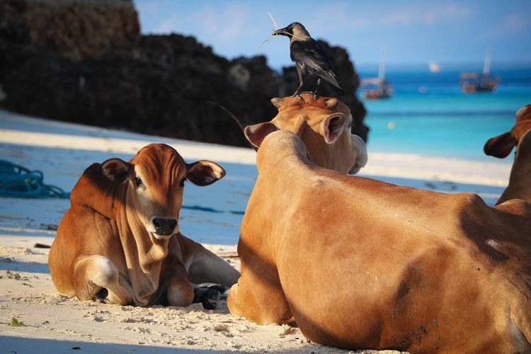 Cows Sitting On Beach By Sea