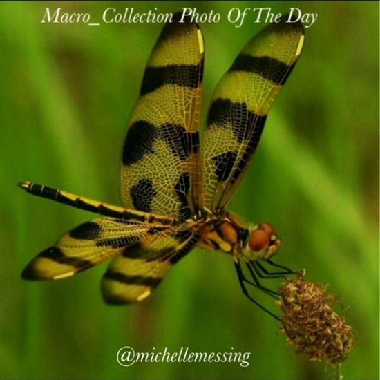 Thank you to @macro_collection for choosing my dragonfly as today's feature. Follow and tag your pictures to the macro_collection album for your chance to be featured. Macro_collection Award Center