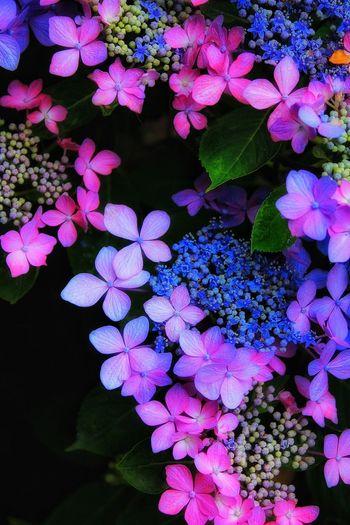 紫陽花 EyeEm Best Shots Beauty In Nature Flower