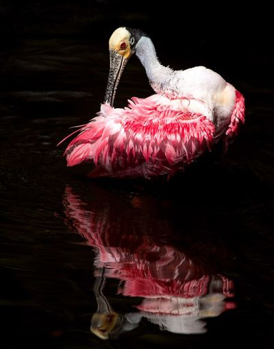 Roseate Spoonbill Everglades  Florida Spoonbill Roseate Spoonbill Pink Pink Color No People Water Black Background Indoors  Animal Animal Themes Close-up Animals In The Wild Swimming One Animal Animal Wildlife Studio Shot Vertebrate Make-up Art And Craft Animal Body Part Marine Bird