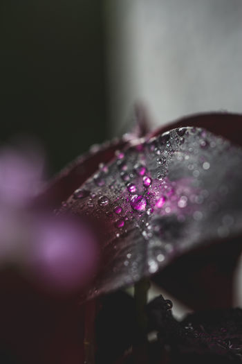 Close-up of water drops on pink flower