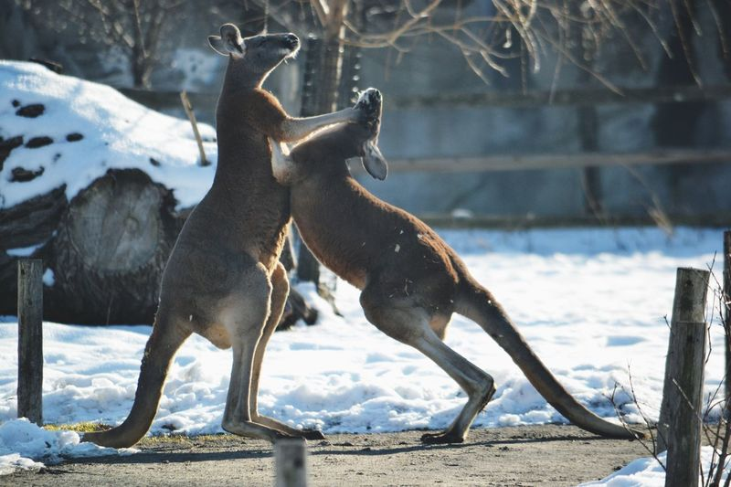 Kangaroos fighting by snowy field during sunny day