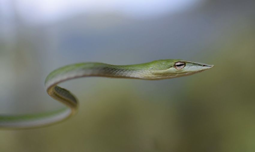 Close up of a Vine Snake in the wild. Green Color Close-up Reptile Animal Wildlife Animals In The Wild Animal Themes Vine Snake Ahaetulla Nasuta Snake Snakes Reptiles Reptile Photography Wildlife Wildlife & Nature Wildlife Photography Wildlifephotography