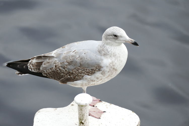 Animals In The Wild Beak Meditation Swimming Aniamls Animal Themes Animal Wildlife Animals In The Wild Backgrounds Bird Birds Close-up Day Feather  Flying Gull Nature No People Ocean One Animal Outdoors Perching Seagull Water Water Bird