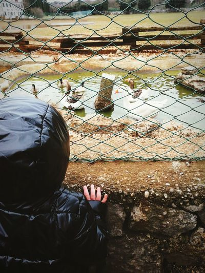 Rear view of kid looking at geese through chainlink fence