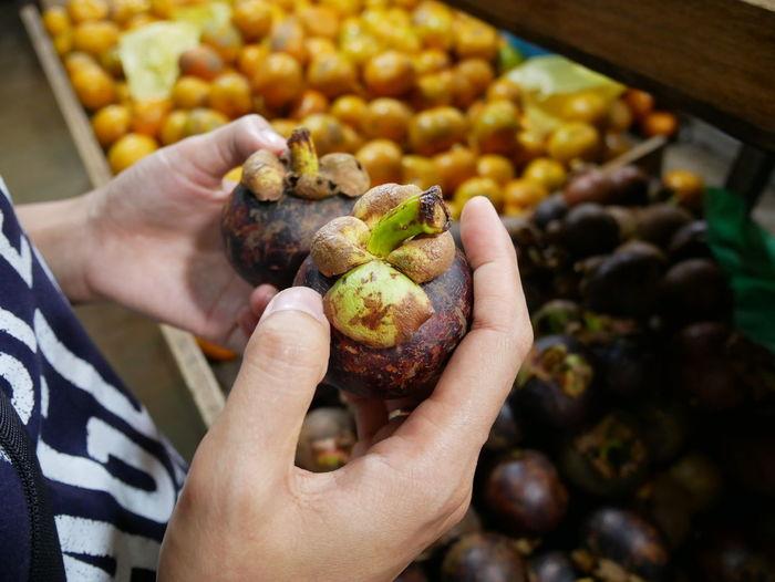 Woman hands holding mangosteen.mangosteen fruit in woman hand.closeup.asian fruit.