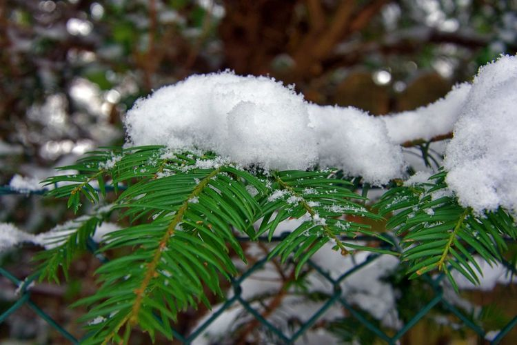 Snow Winter Cold Temperature White Color Plant Leaf Plant Part Beauty In Nature Day No People Nature Focus On Foreground Green Color Close-up Frozen Tree Growth Selective Focus Outdoors Ice Softness Coniferous Tree Fir Tree EyeEmNewHere