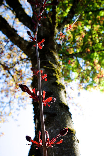 Plant Tree Growth Red Nature Day No People Close-up Branch Plant Part Beauty In Nature Outdoors Plant Stem Sunlight Spring Tree Trunk
