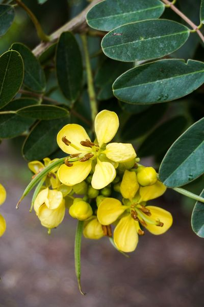Herb Leguminosae Senna Siamea Thai Copper Pod Beauty In Nature Bloom Blooming Blossom Cassod Tree Close-up Flower Flower Head Fragility Freshness Green Color Growth Leaf Nature No People Outdoors Petal Plant Senna Vegetable Yellow