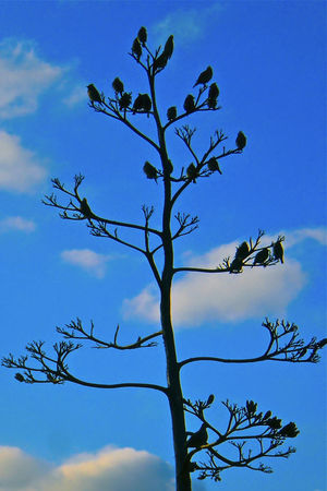 Agave Flower Spike Birds Blue Sky Blue Sky And Clouds Bluesky Cloud_collection  Perching Birds Silouhettes Sky Sky_collection,cloudporn,skyporn