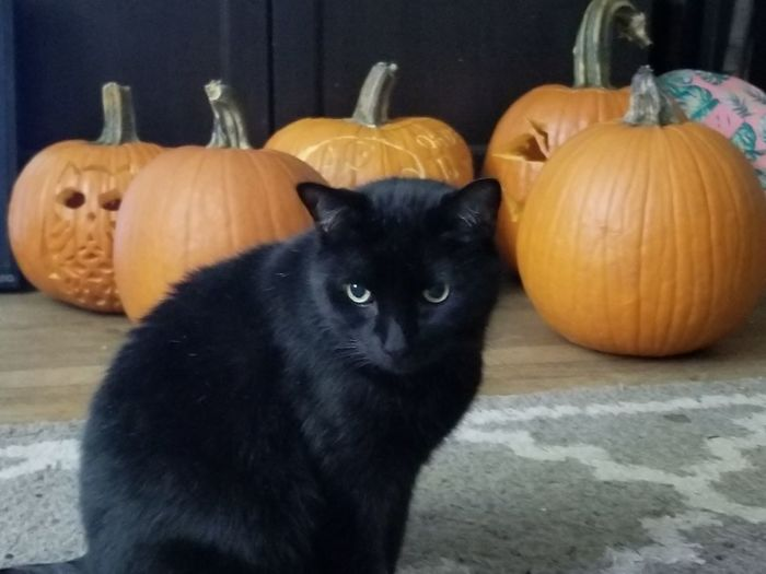 Cat Cat Pumpkin