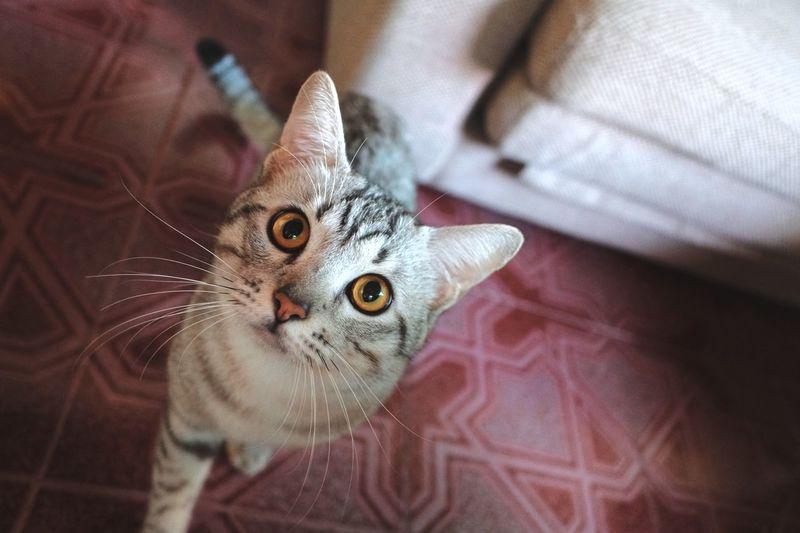 High angle portrait of cat on floor
