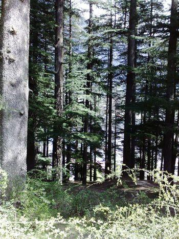 Himalayan pine trees