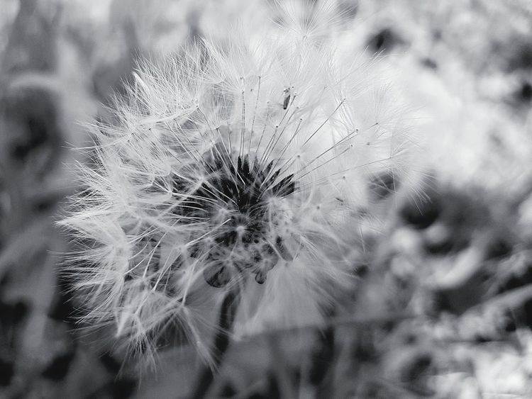 Fragility Close-up Nature Focus On Foreground Growth Beauty In Nature Tranquility Beauty In Nature Wildflower Uncultivated Softness Dandelion Dandelion Seeds Löwenzahnsamen Macro Nature B&w Edit Black&white Flower Head Backgrounds Nature Grass Flowers Pusteblume Dandelion Close-up Dandelion Macro Macro Dandelion EyeEm Selects