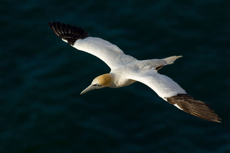 Gannet Animal Wing Beauty In Nature Flying Gannet Mid-air Morus Bassanus Nature Sky Spread Wings Tranquility