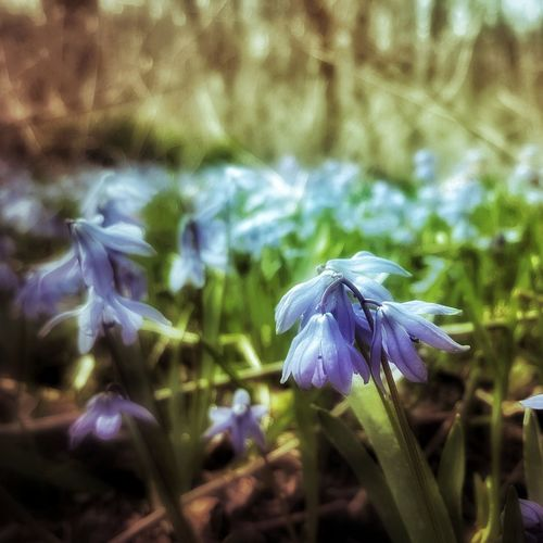 scilla Nature_collection Nature Photography Nature Illinois WoodLand Macro Bloom Spring Delicate Forest Floor Scilla Sqill Purple Blue Flower Flower Head Flower Purple Iris - Plant Close-up Plant Flowering Plant Plant Life