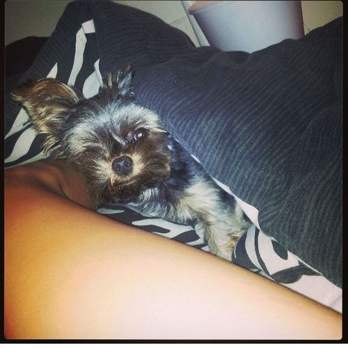 """she popped out thinking, """"Heyy, why'd you uncover for? Its cold!!!"""" cutest thing ever. Ilovemydog Yorkie Cutepets"""