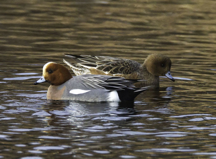 Anas Penelope Animal Themes Animal Wildlife Animals In The Wild Bird Bird Photography Bird Photograpy Close-up Duck Eurasian Wigeon European Birds Lake Nature Nature Photograhy Nature Photography No People Water Western Palearctic Wigeon