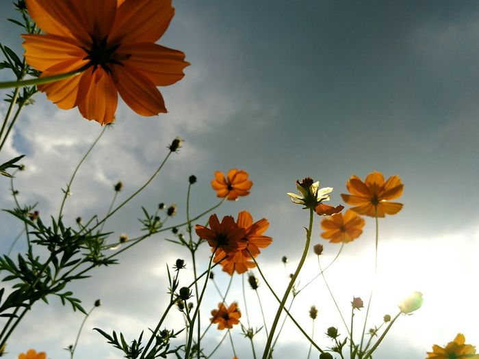 Low Angle View Of Yellow Cosmos Flowers Blooming Against Sky