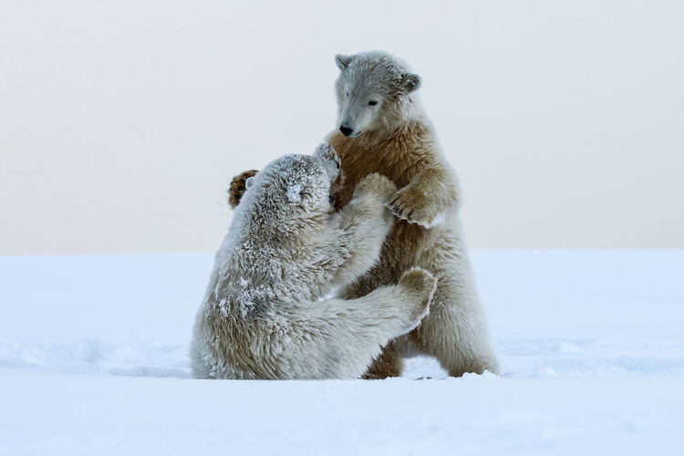 Polar bears fighting on snow covered landscape