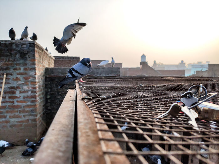 Pigeon flying on rooftops