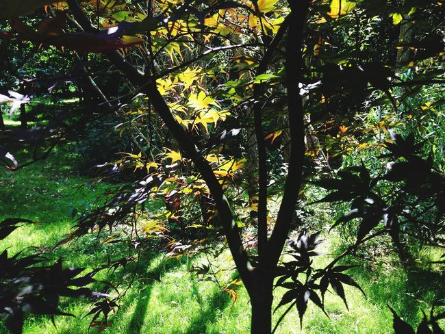 Acer Garden Tree Plant Growth Branch Beauty In Nature No People Nature Day Outdoors Leaf Sunlight