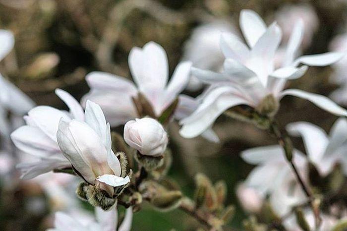 Magnolia Whitebeauty Star Alnarp Flowers Picofthemoment Picoftheday Enjoylife Life Lifeisgood Canonphotography Canon
