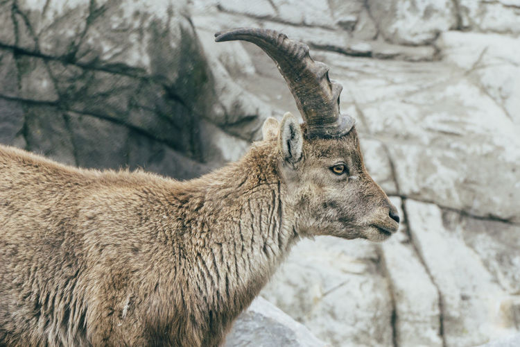 Close-up of female ibex