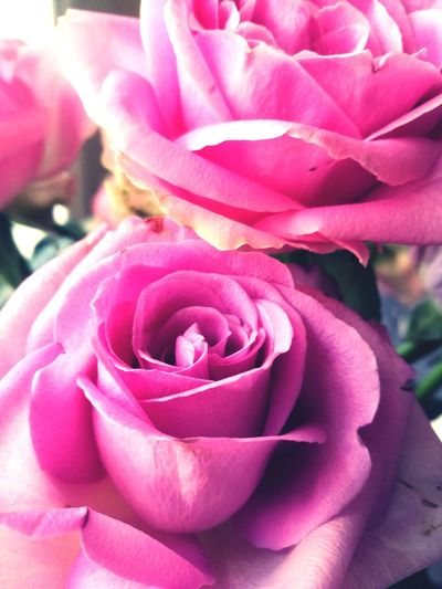 roses aren't red Flower Head Flower Pink Color Petal Rose - Flower Springtime Scented Blossom Close-up Rose Petals Pale Pink Single Rose In Bloom Focus Rosé
