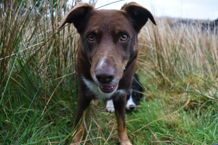 Portrait of a brown crossbreed dog stood in field looking at camera
