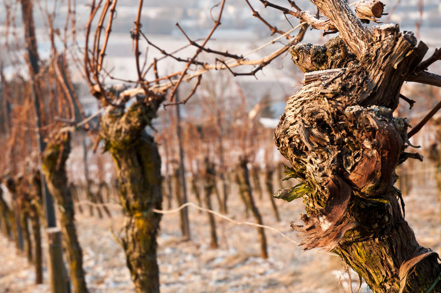 Vines with rustic bark in sunny winter Bark Plant Rustic Sunny Vines Winter Beauty In Nature Close-up Cold Day Dead Plant Dried Plant Dry Focus On Foreground Nature No People Outdoors Season  Tree Tree Trunk