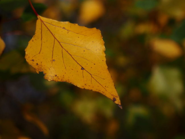 Autumn Autumn Collection Beauty In Nature Change Close-up Day Dry Fall Focus On Foreground Leaf Leaf Vein Leaves Maple Leaf Maple Tree Natural Condition Nature No People Orange Color Outdoors Plant Plant Part Tree Vulnerability  Yellow