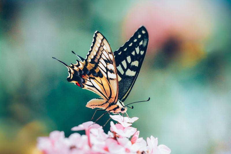 Insect Invertebrate Animal Wing Animal Wildlife Animal Themes Animal Flower Focus On Foreground Day Plant Nature No People Close-up Vulnerability  Fragility One Animal Beauty In Nature Butterfly - Insect Animals In The Wild Flowering Plant