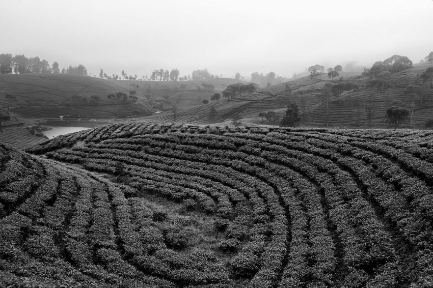 Tea circles Agriculture Beauty In Nature Black & White Black And White Black And White Photography Blackandwhite Blackandwhite Photography Day Fog Landscape Landscape_Collection Landscape_photography Nature No People Outdoors Scenics Sky Teatree Tree