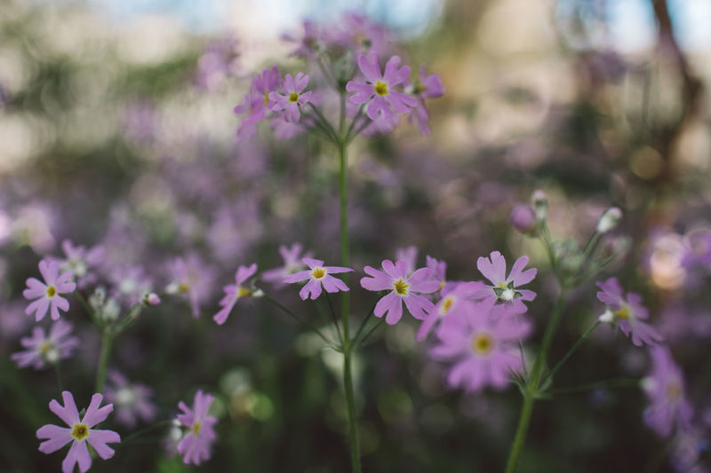 Springtime Decadence Flowering Plant Flower Vulnerability  Fragility Freshness Beauty In Nature Plant Growth Close-up Petal No People Focus On Foreground Purple Nature Day Flower Head Inflorescence Outdoors Selective Focus Plant Stem