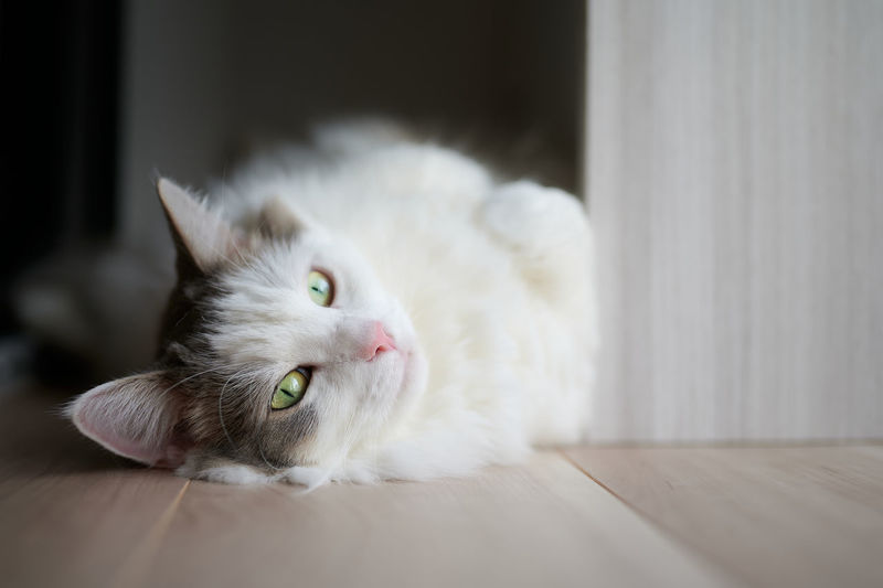 White cat lying on floor at home