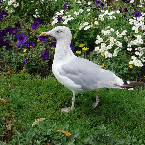 Seagull on a field