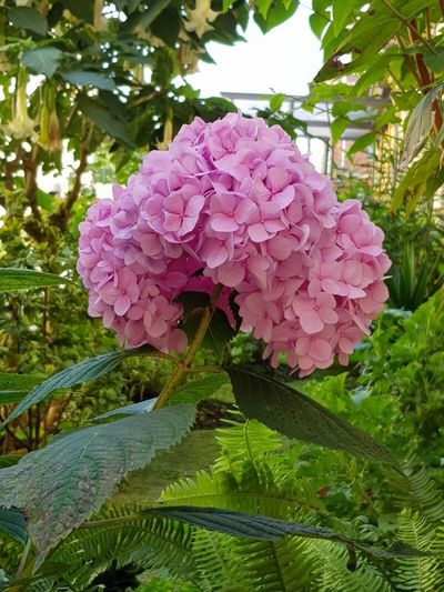 Hortensia, flor, flower, Galicia