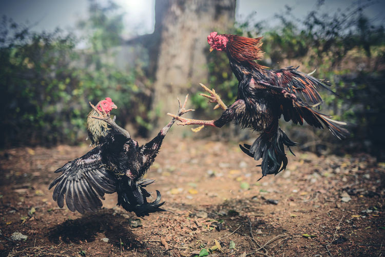 Close-up of roosters fighting