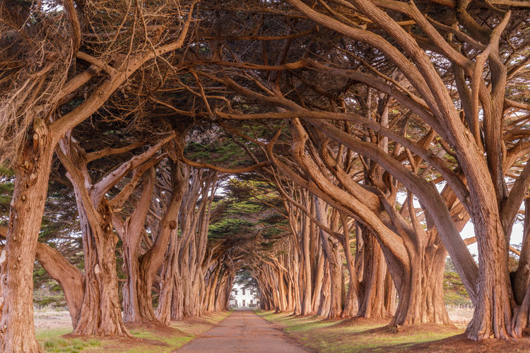Cypress Tree Tunnel painted in golden light during sunrise. Point Reyes National Seashore, Marin County, California, USA. The Way Forward Direction Day No People Nature Tree Diminishing Perspective Tranquility Arch Plant Outdoors Travel Destinations Beauty In Nature Built Structure In A Row Tranquil Scene Tree Trunk Footpath Travel Treelined Cypress Trees  Point Reyes National Seashore Cypress Tree Tunnel Monterey Cypress California