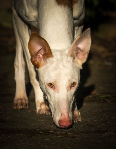 Portrait Of Ibizan Hound At Night