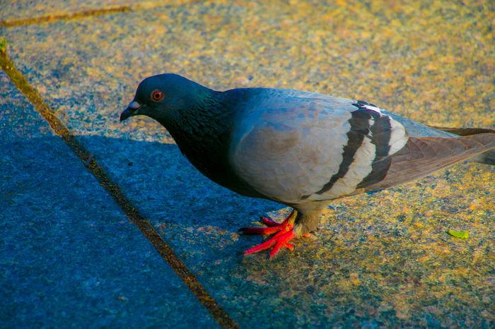 Bird pigeon