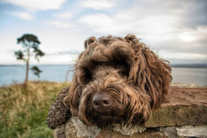 Labradoodle Doodle Doggy Love Dog Walking Avoch EyeEmNewHere